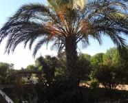 Ref 443 Altet 18 palm
